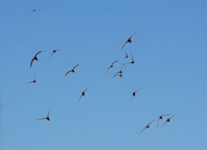 Flock of Swifts